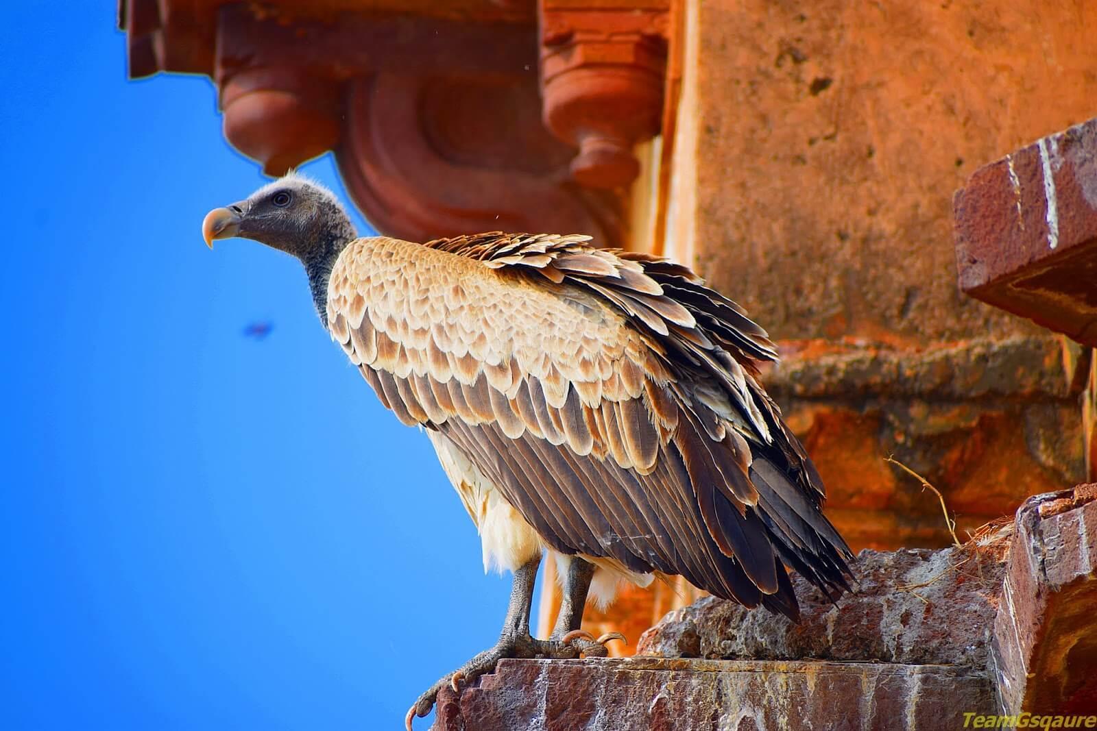 Vultures-at-Orchha-Wildlife-Sanctuary
